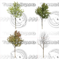 Cutout tree - 4 seasons - Mountain ash (Sorbus aucuparia) (2) (2)