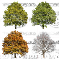Cutout tree - 4 seasons - Sycamore maple (Acer pseudoplatanus)