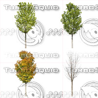 Cutout tree - 4 seasons - Norway maple (Acer platanoides)