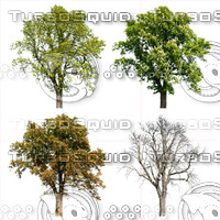 Cutout tree - 4 seasons - Horse chestnut (Aesculus hippocastanum)