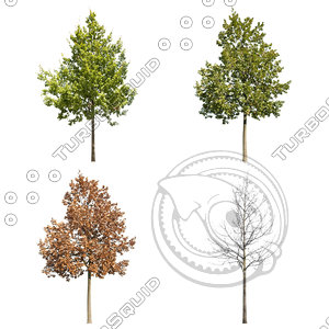 Cutout tree - 4 seasons - English oak (Quercus robur)