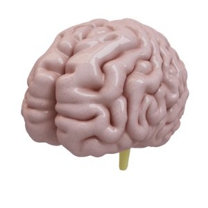 3d human brain model