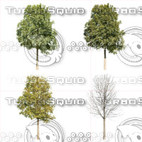 Cutout tree - 4 seasons - European ash (Fraxinus excelsior)