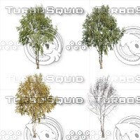 Cutout tree - 4 seasons - Silver Birch (Betula pendula)