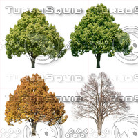 Cutout tree - 4 seasons - Linden (Tilia)