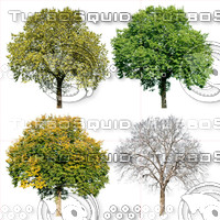 Cutout tree - 4 seasons - Field elm (Ulmus minor)