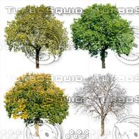Cutout tree - 4 seasons - Field elm (Ulmus minor)