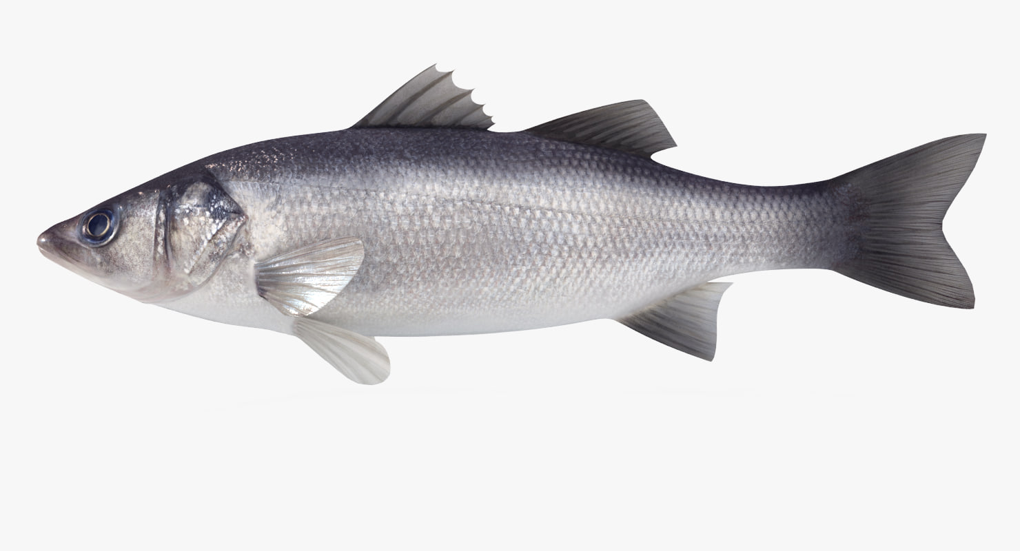 3d model sea bass fish animation
