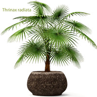 3d model palm thrinax radiata