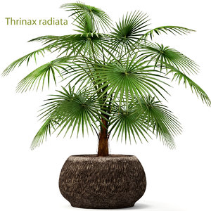 max palm thrinax radiata