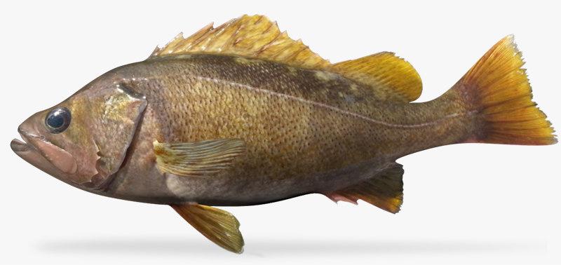 yellowtail rockfish 3d x