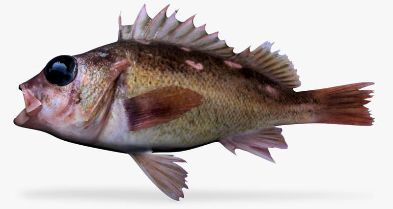 honeycomb rockfish 3d model