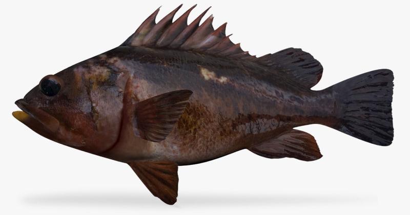 3d fbx copper rockfish