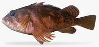 gopher rockfish 3d ma