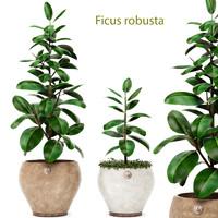 3d ficus robusta elastica model