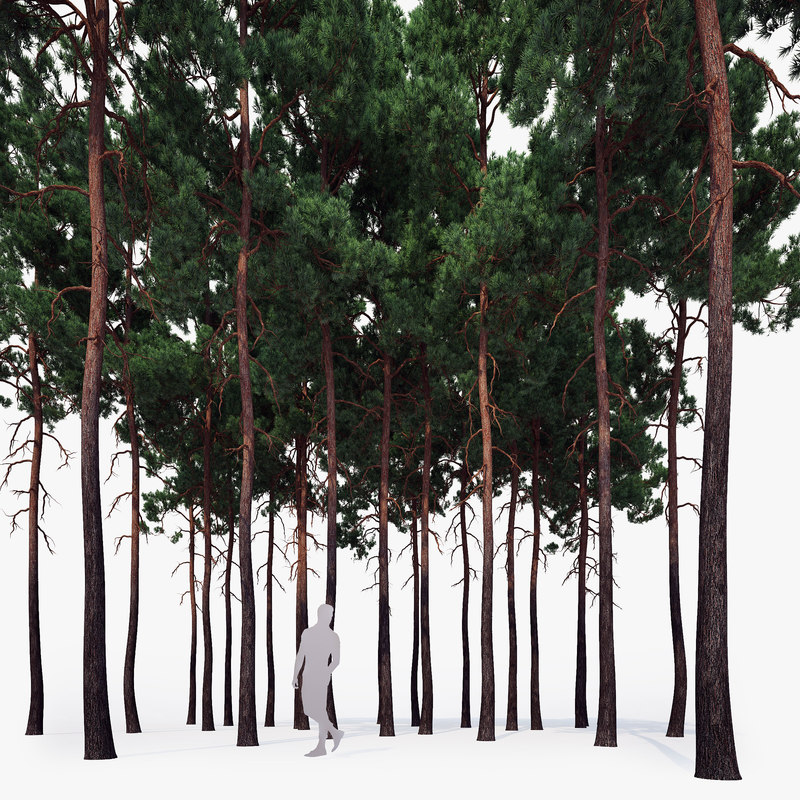 scots pine tree forest 3d max