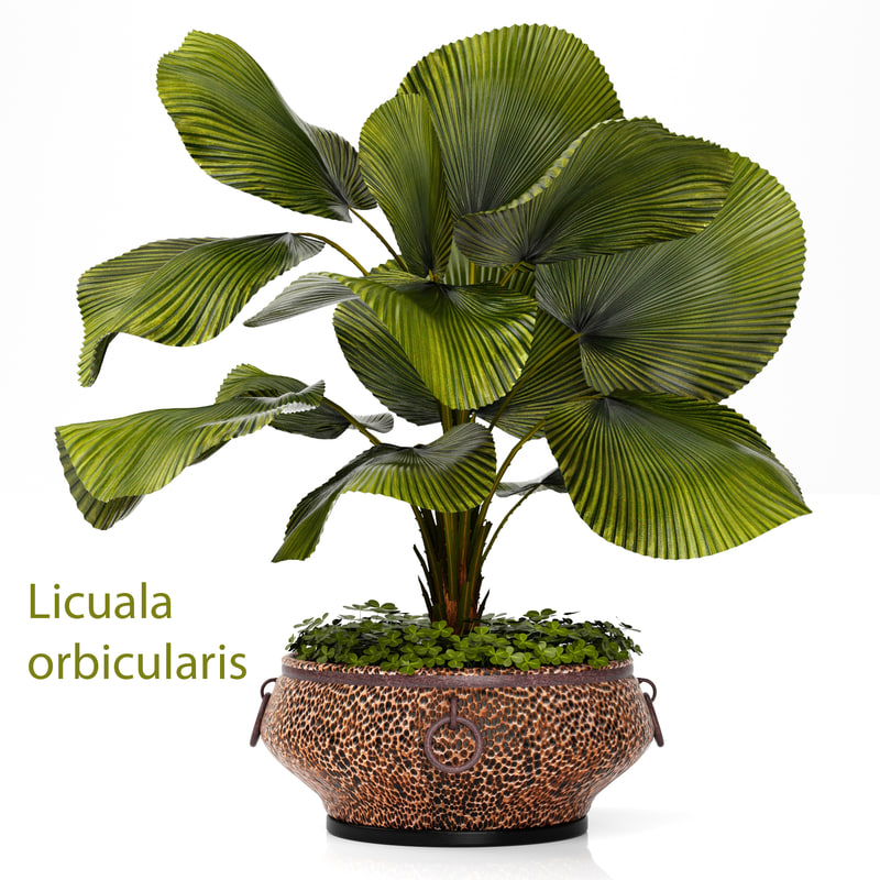 licuala palm 3d model