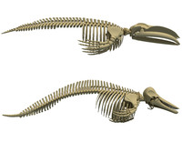blue whale skeleton dolphin 3d model
