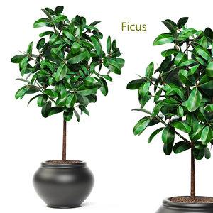 3d model ficus robusta elastica