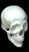 3d model of human skull