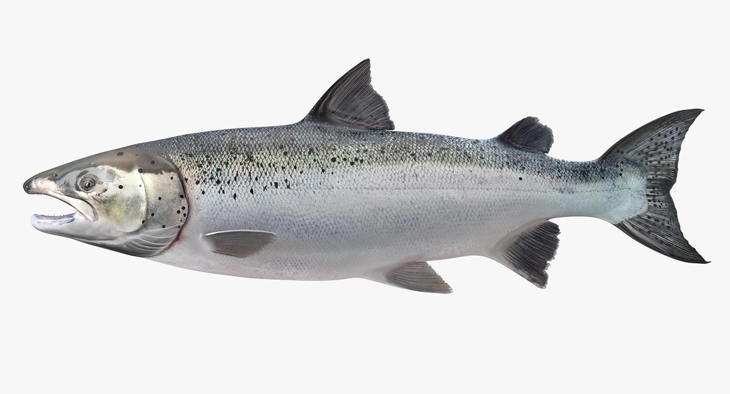 3d model atlantic salmon fish