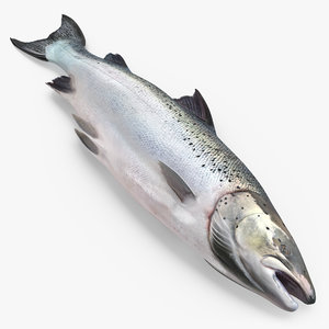 atlantic salmon fish lying 3ds