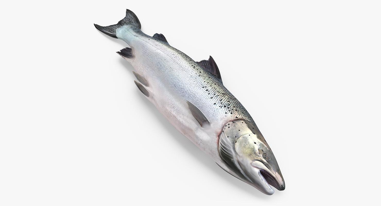 atlantic salmon fish lying 3ds