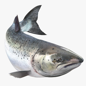 3d atlantic salmon fish swimming model