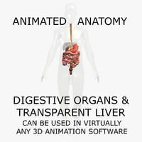 3D Anatomy Model Human: Animated Digestive Organs & Transparent Liver Organ