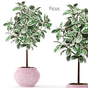 ficus robusta elastica 3d model