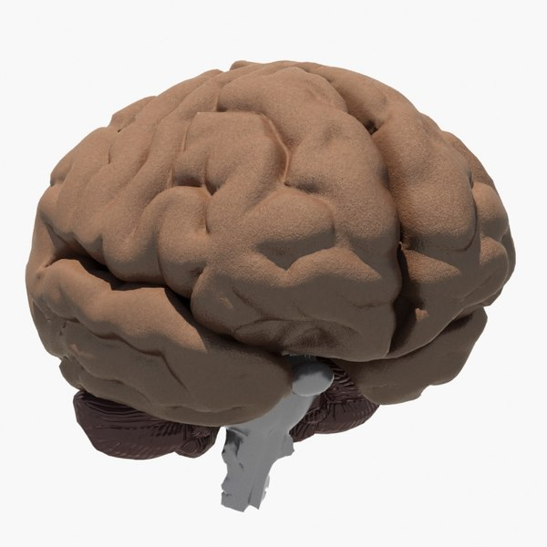 3d brain medical model