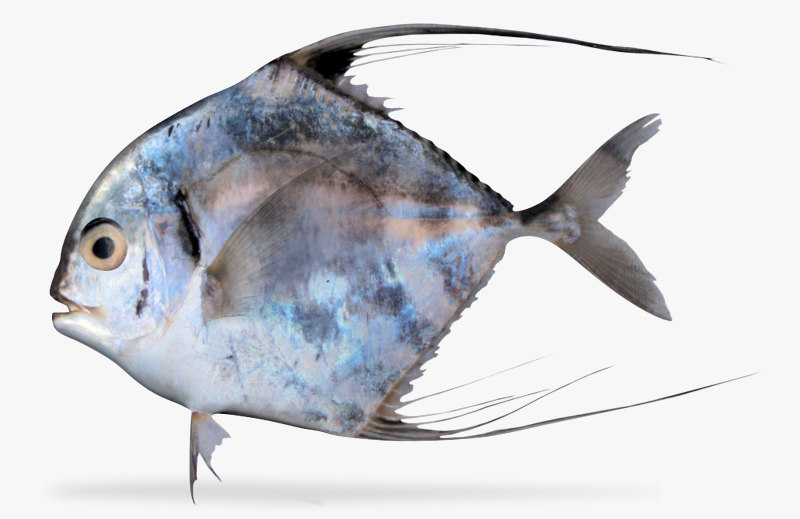 3d african pompano