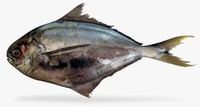 salema butterfish 3d model