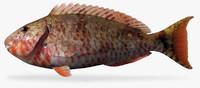redtail parrotfish 3d model