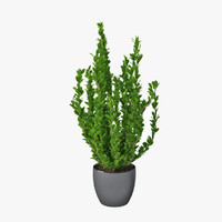 3d max potted plant buxus sempervirens