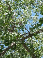 tree leaves with bluejay