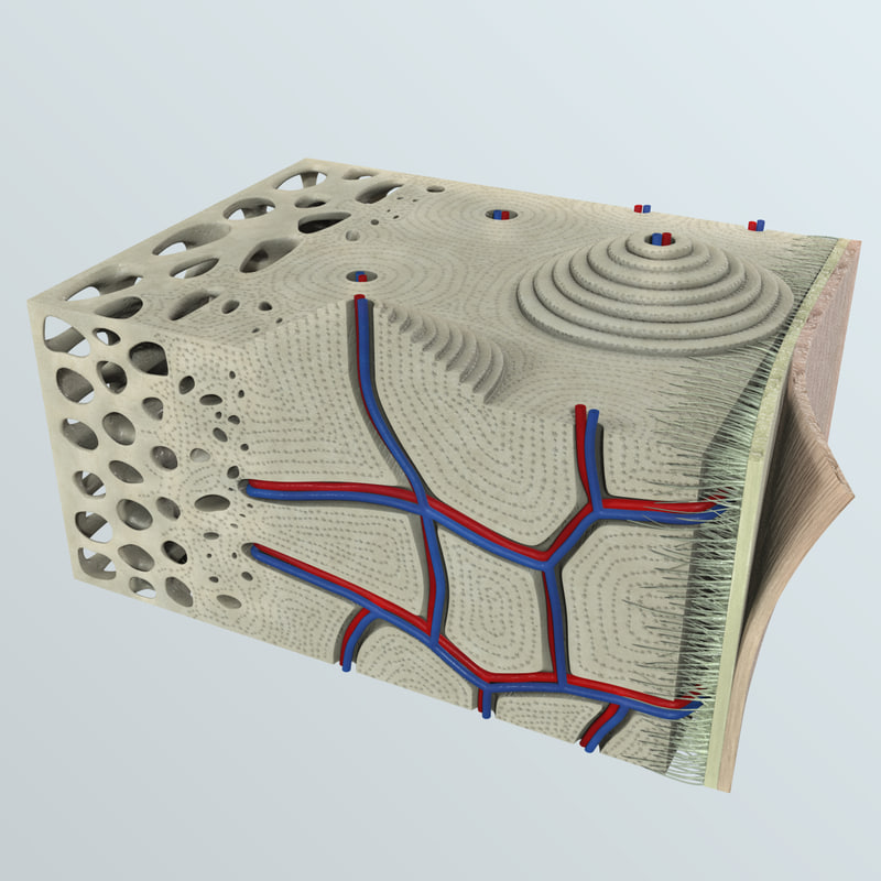 3d human bone s