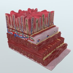 human stomach wall anatomy 3d model