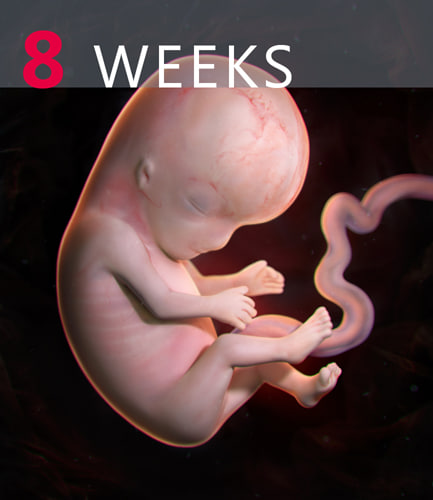 human embryo max