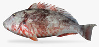 redtail parrotfish fish 3d model
