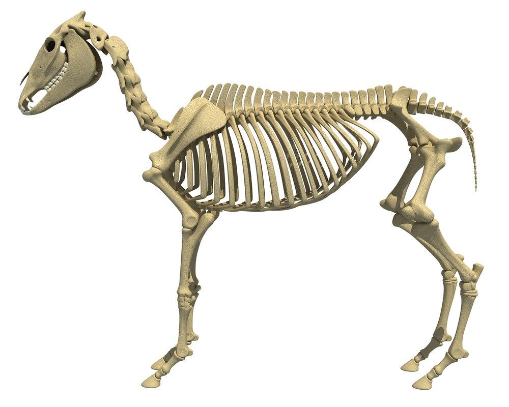 donkey skeleton animal 3d lwo