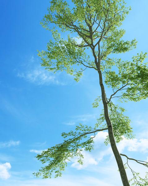 beech tree fagus sylvatica 3d max