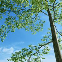 Beech Tree (Fagus Sylvatica 4)