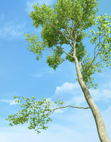 Beech Tree (Fagus Sylvatica 3)