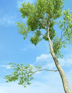 max beech tree fagus sylvatica