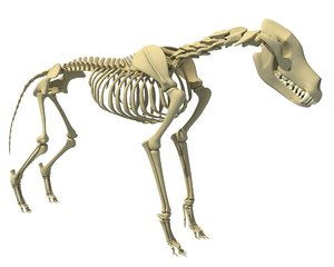 wolf skeleton animal 3d model