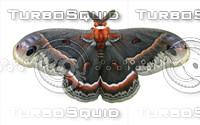 Butterfly3 Cecropia Moth