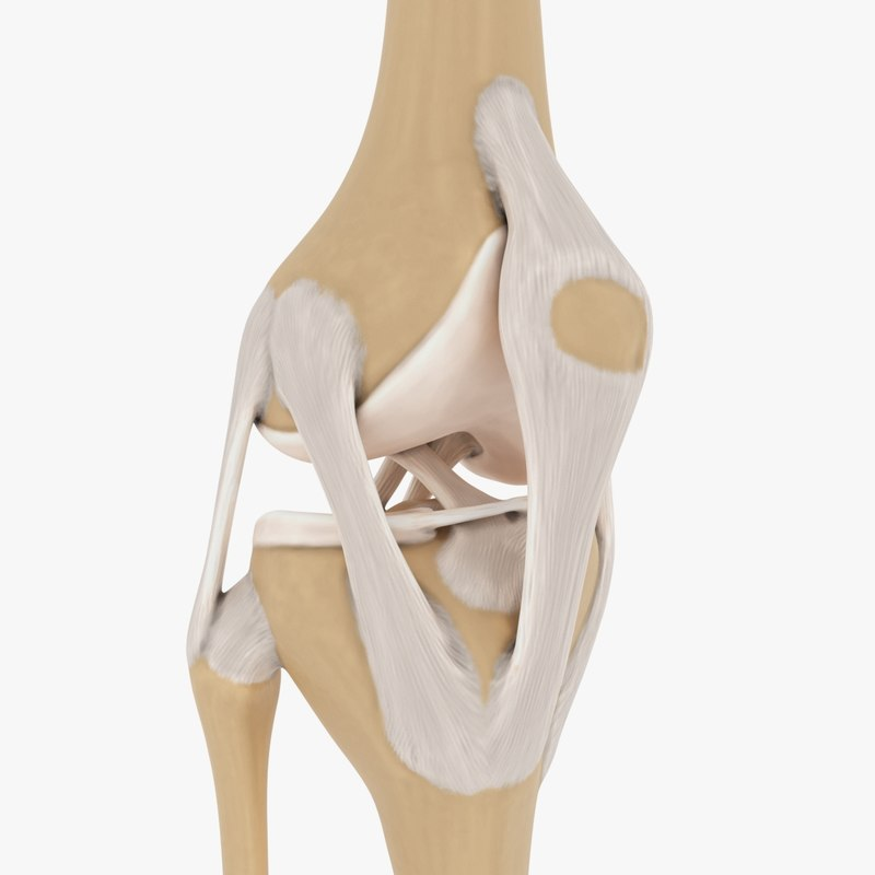 3d model joint knee