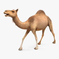 3d camel walking pose fur