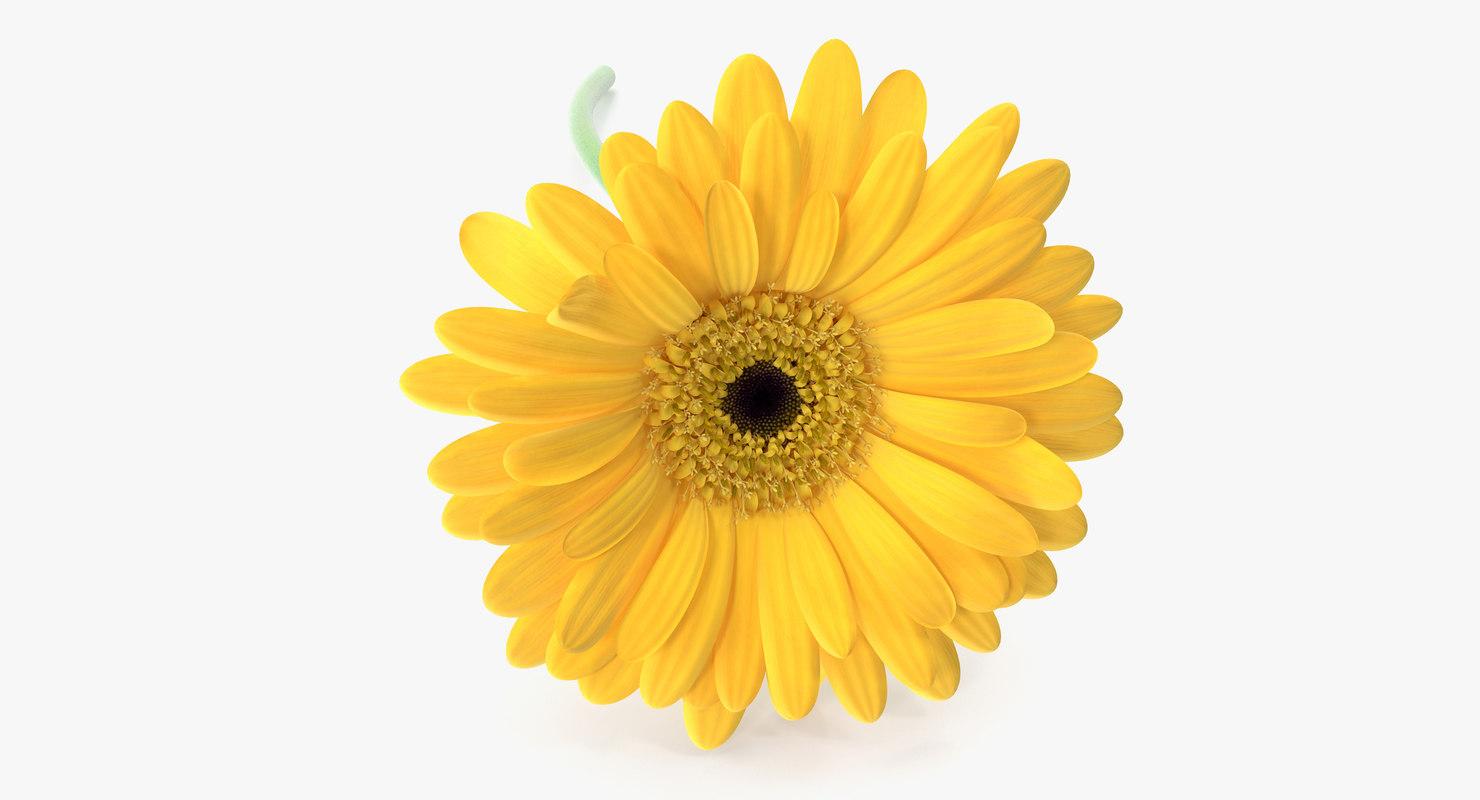 gerbera flower 3d model